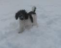 Unsere Pudel haben Spass im Schnee_10
