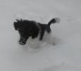 Unsere Pudel haben Spass im Schnee_4