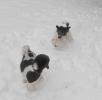 Unsere Pudel haben Spass im Schnee_7