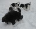 Unsere Pudel haben Spass im Schnee_9